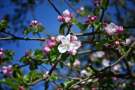 Beginn der Apfelblüte: 21.4.2020