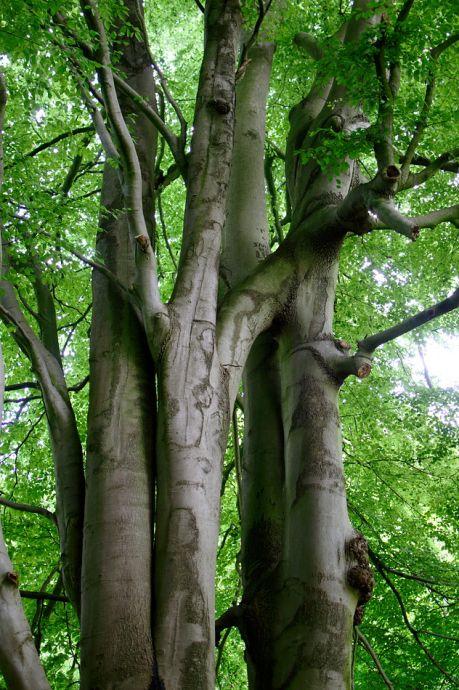 Baumvereinigung