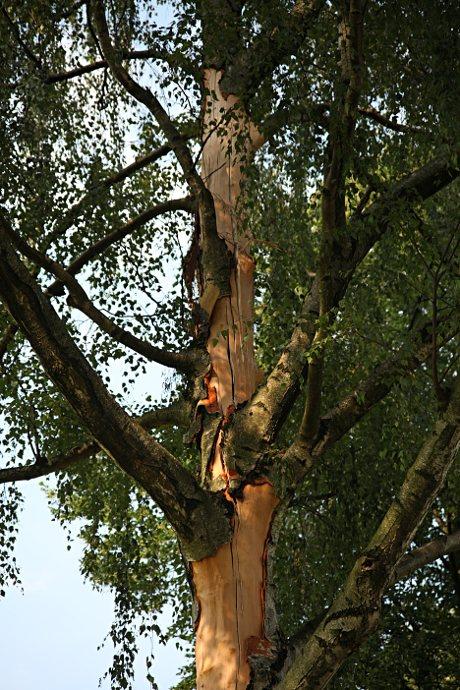Blitzeinschlag: Stamm der Birke nach dem Blitzeinschlag