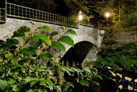 Gemeine Brückensalamander: Salamandra Napolionis
