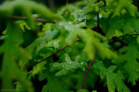 Eichenblätter an Wasser