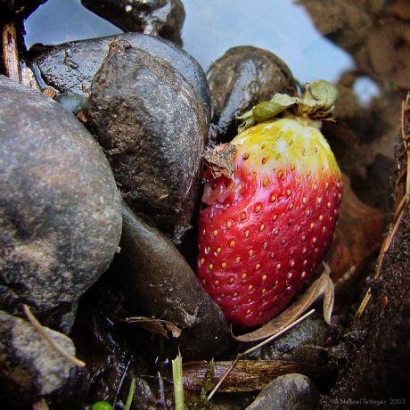 Erdbeere an Wupperufer