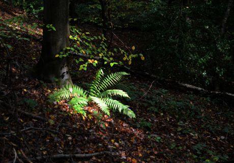 Farn im Wald: angeblich mögen Farne kein Sonnenlicht