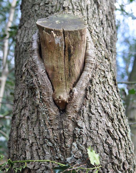 Fuchsbaum ohne Fuchs