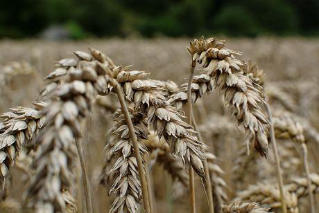 Getreide: Anfang August 2011