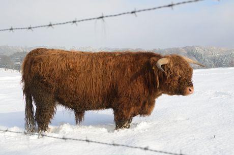 Das Rind