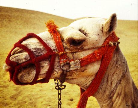 Kamel mit Maulkorb: damit die Ausländer nicht angeknabbert werden