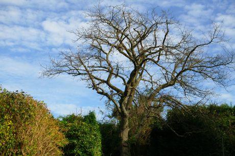 Kirschbaum: nach Ertrag schon im Winterschlaf