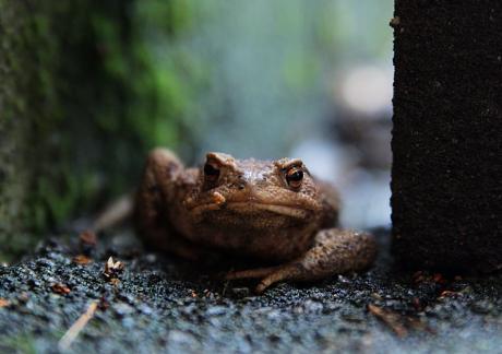 Frosch oder Kröte: das ist hier die Frage