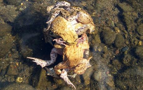 Kröten Gang Bang: in und um die Wupper herum ( Foto: © P.J.)