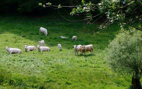 Nackte Kühe: beim Betrachten des Fotografen