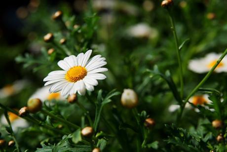 Margeriten: aus der Familie der Korbblütler