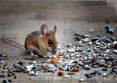 Mäusespeisung