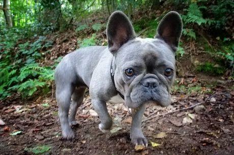 Marie, aus der Rasse der Französischen Bulldogge