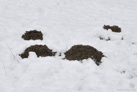 Maulwurfshügel: mitten im Winter bei frostigem Boden. Wie machen die das?