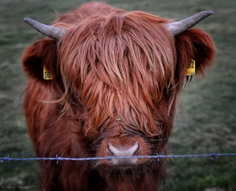 Galloway-Rind schottisches Hochlandrind