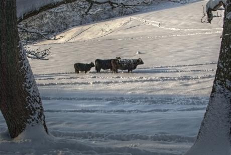 Rinder auf der Hästener Rodelwiese