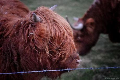 Galloway-Rinder Highland Cattles