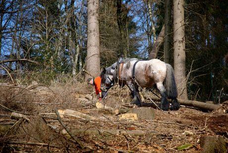 Rückepferd im Wald bzw. was davon noch vorhanden ist