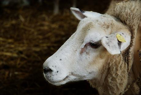 Mutter Schaf