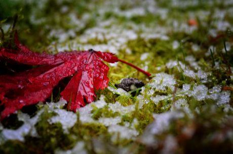 Schneeregen an Laub