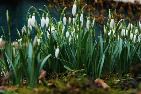 """Galanthus nivalis: das """"Kleine Schneeglöckchen"""""""