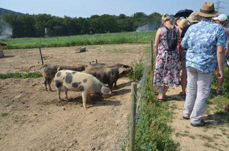 Bunte Schweine