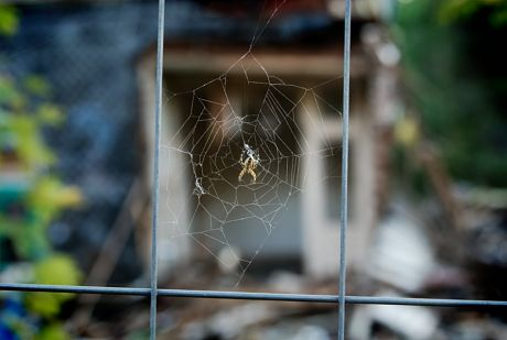 Webspinne