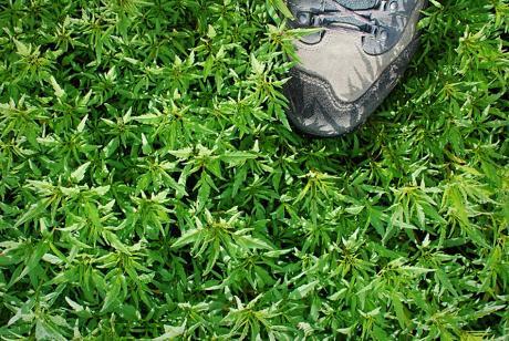 Pflanzenteppich: Kennt jemand die Pflanzen, die derzeit am Grunde der entwässerten Wuppertalsperre so gut gedeihen ?