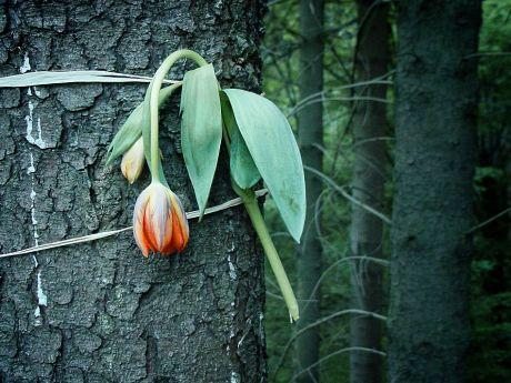 Tulpe ohne Wasser
