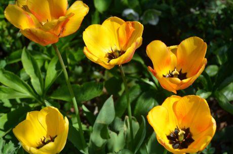 Ein Kessel Buntes: Tulpen