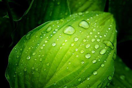 Wassertropfen: Herzblattlilie